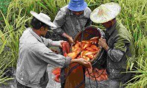 Pertanian Minapadi agroindustri indonesia