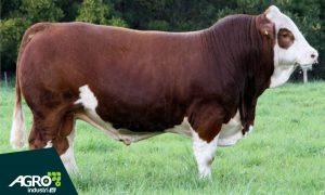 harga sapi simental